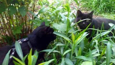 два черных кота