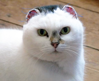tabby-and-white cat with stitches on ears