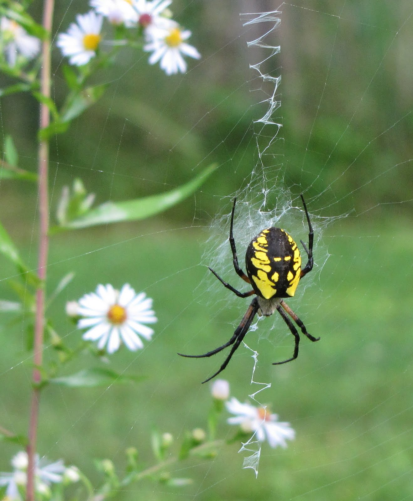Bug Eric: Spider Sunday: Black and Yellow Argiope