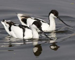 Recurvirostra avosetta swimming