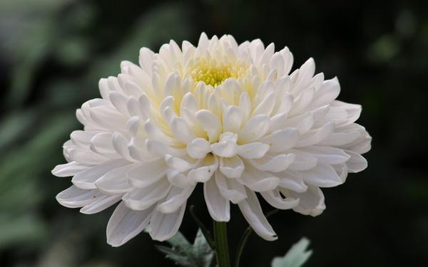 y nghia hoa cuc trang trong tinh yeu