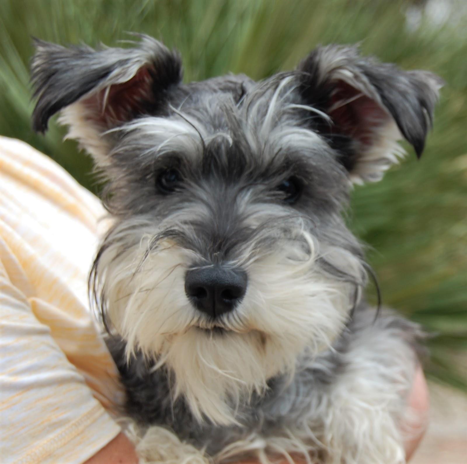 Miniature Schnauzer Rescue Dogs