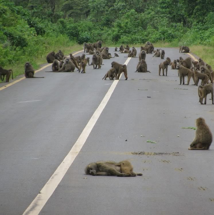 Picture of funny baboons on the road.