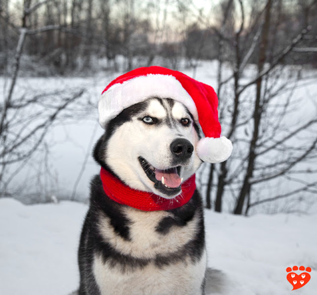 Dog body language quiz: Is this Siberian Husky in a Santa hat happy or fearful?