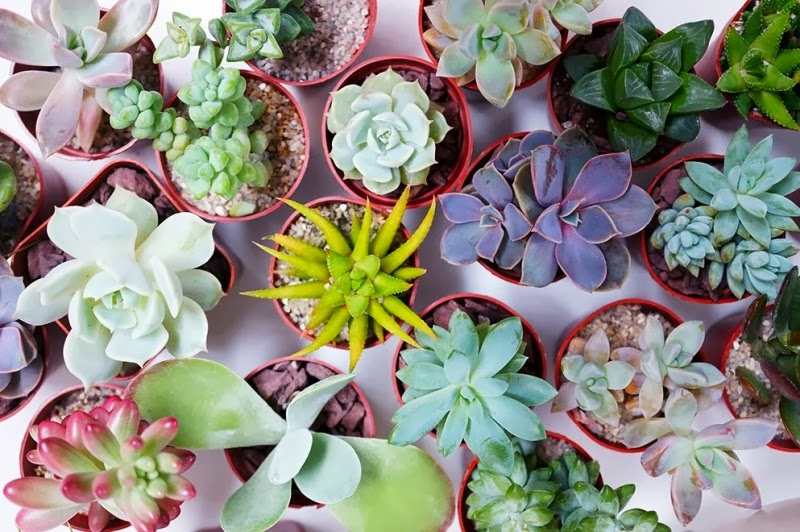 Photographie de succulentes
