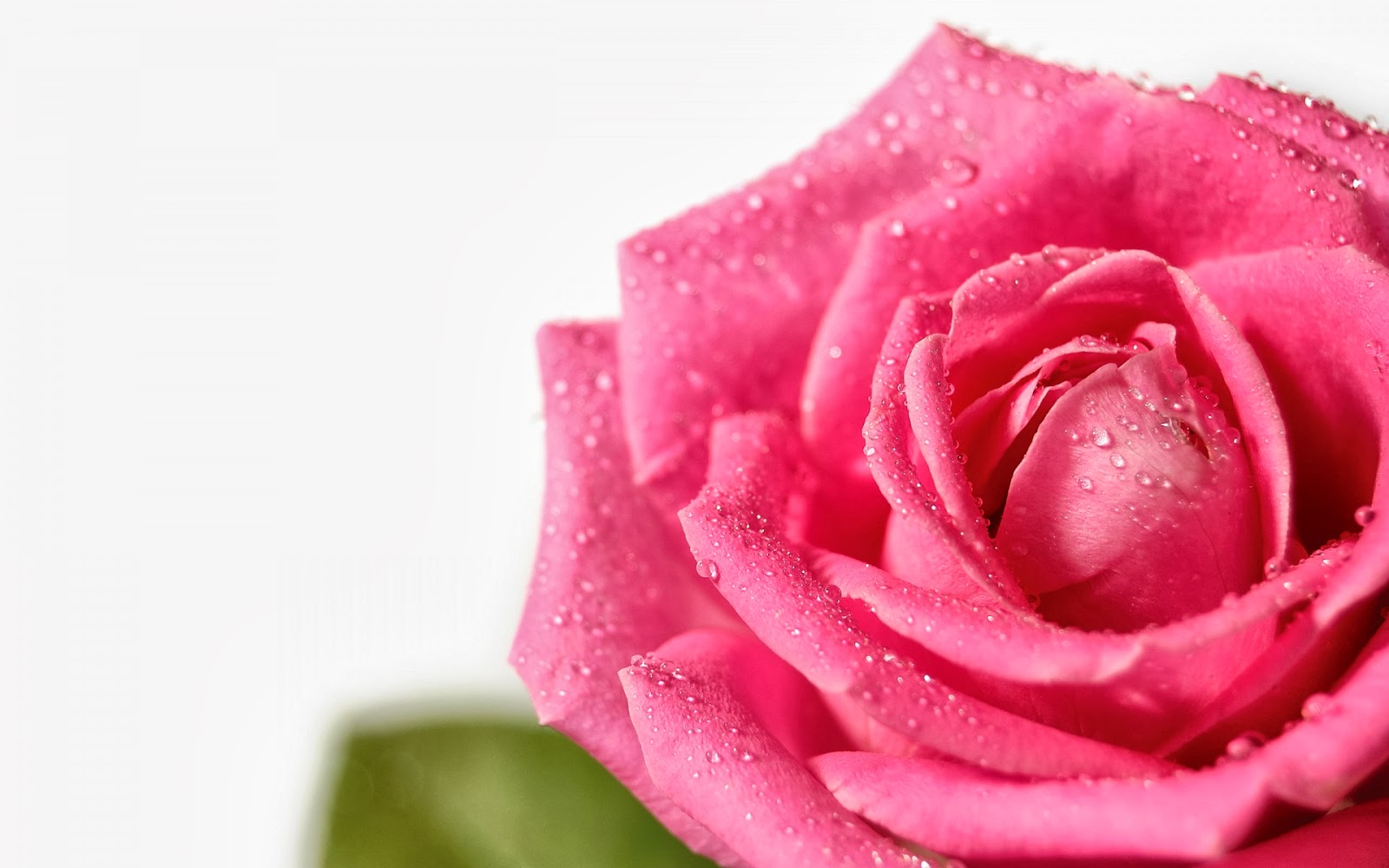 All 4u HD Wallpaper Free Download : Pink Rose Wallpapers ...