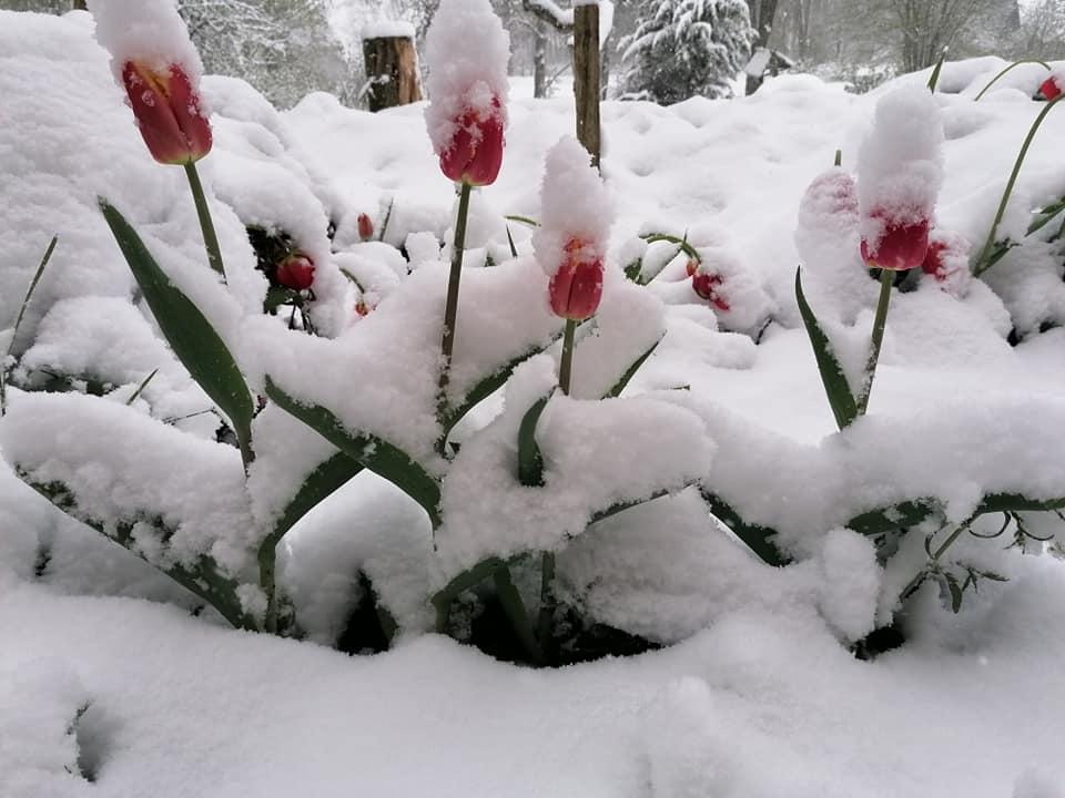 Sniegs pārklāj ziedošas tulpes Gulbenē