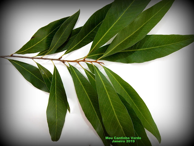 plant leaf Buckinghamia celcissima