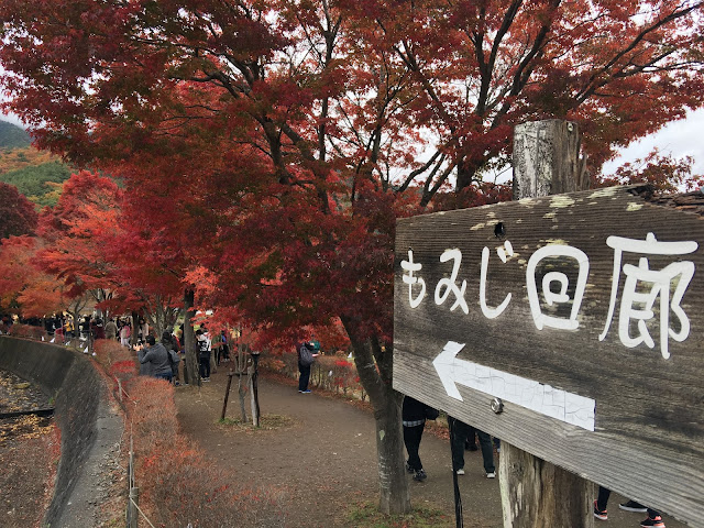 紅葉回廊 2015 momiji tunnel maples corridor lake kawaguchi kawaguchiko red leaves autumn fall