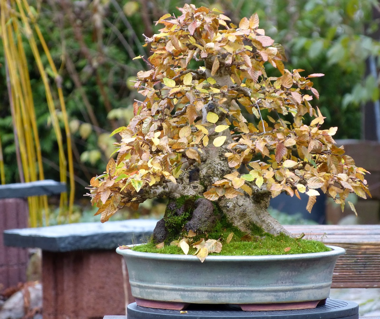 Holger39s Bonsai Blog