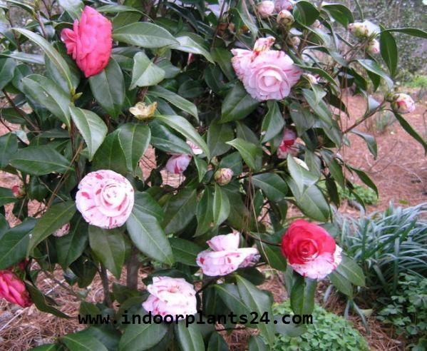 Camellia Japonica Theaceae Camellia Plant IMAGE