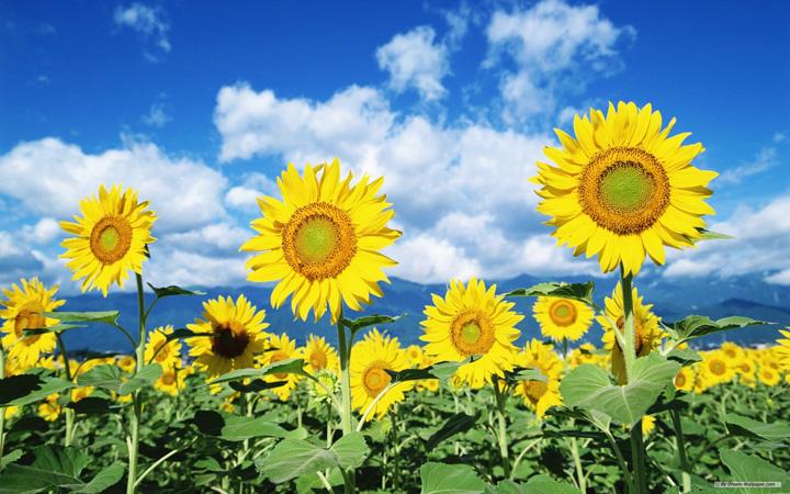 tarlada ayçiçek çiçek resimleri