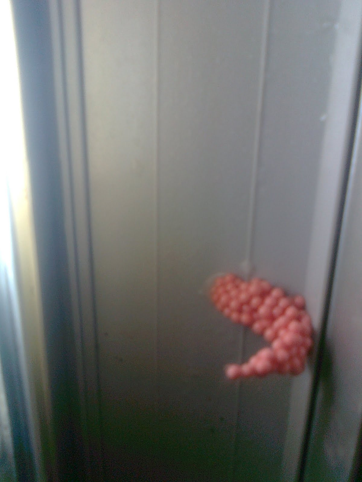 Mi primer acuario huevos de los caracoles manzana for Carpa koi costo