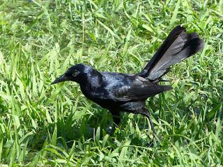 Quiscale noir - Quiscalus niger