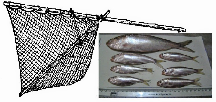 Haffa jal and differnt size Hilsa