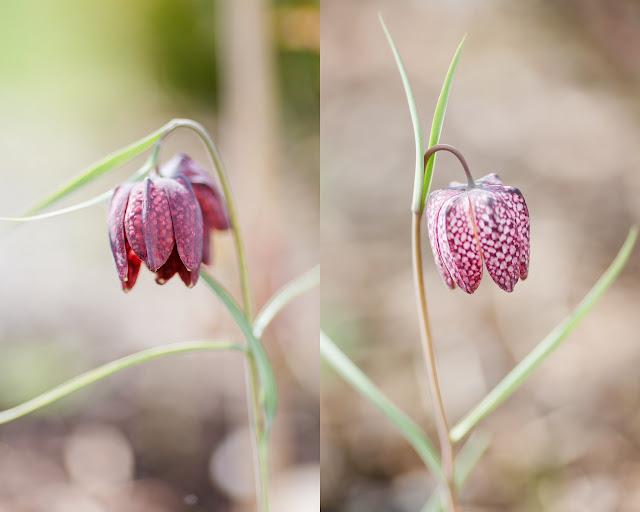 Garten Anfang April, Pomponetti, Schachbrettblume