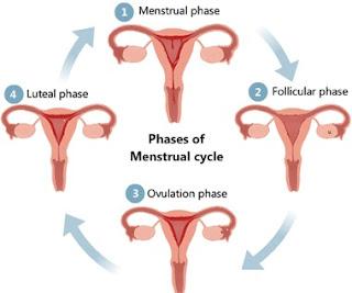 Fase Menstruasi