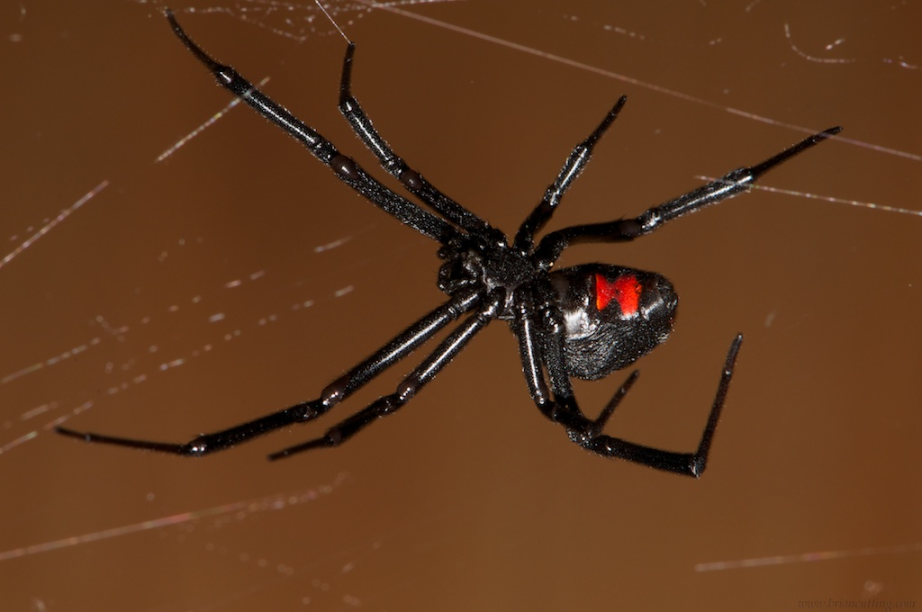 are black widow spiders deadly - 1024×680
