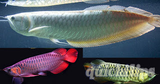 Interesting information about Arowana fish