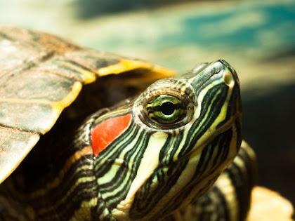 Diet Untuk Kura-kura Brazil