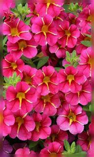 Flores rojas con rosa fondos wallpaper para teléfono móvil resolución 480x800
