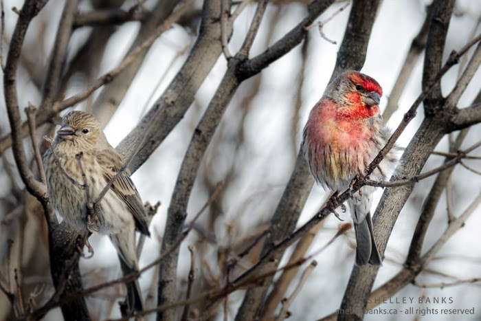 A pair of House Finches! Photo © Shelley Banks; all rights reserved