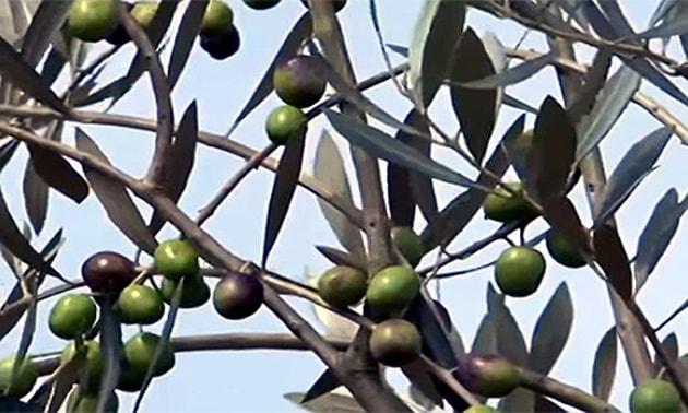 Azeitonas (Olea europaea L.)