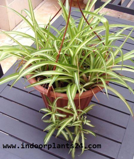 Chlorophytum Comosum indoor plant image
