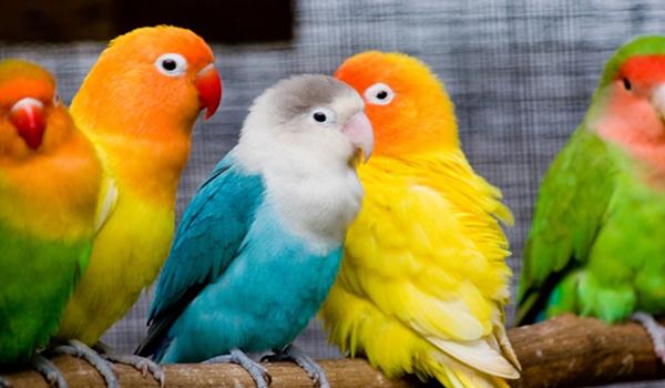 lovebird gondok