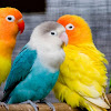 Cara Mengatasi Lovebird Dada Nyilet Karena Penyakit Burung Gondok