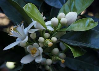 Flor del taronger agre o bord (citrus aurantium) per Teresa Grau Ros