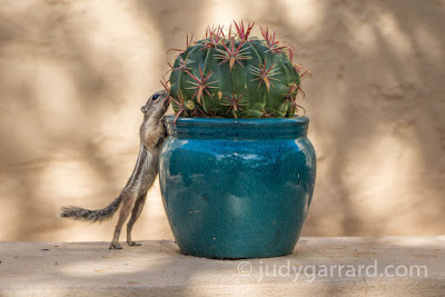 Harris's Antelope Squirrel at Desert Botanical Gardens