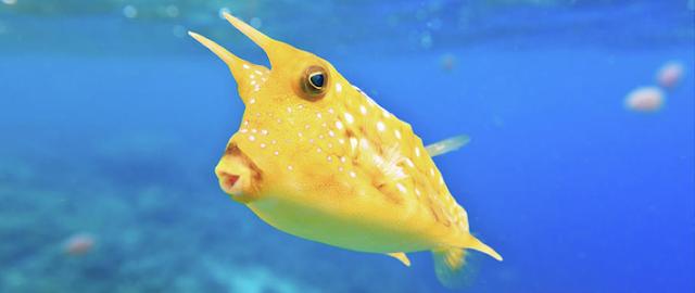 Gambar Ikan Cowfish - Budidaya Ikan
