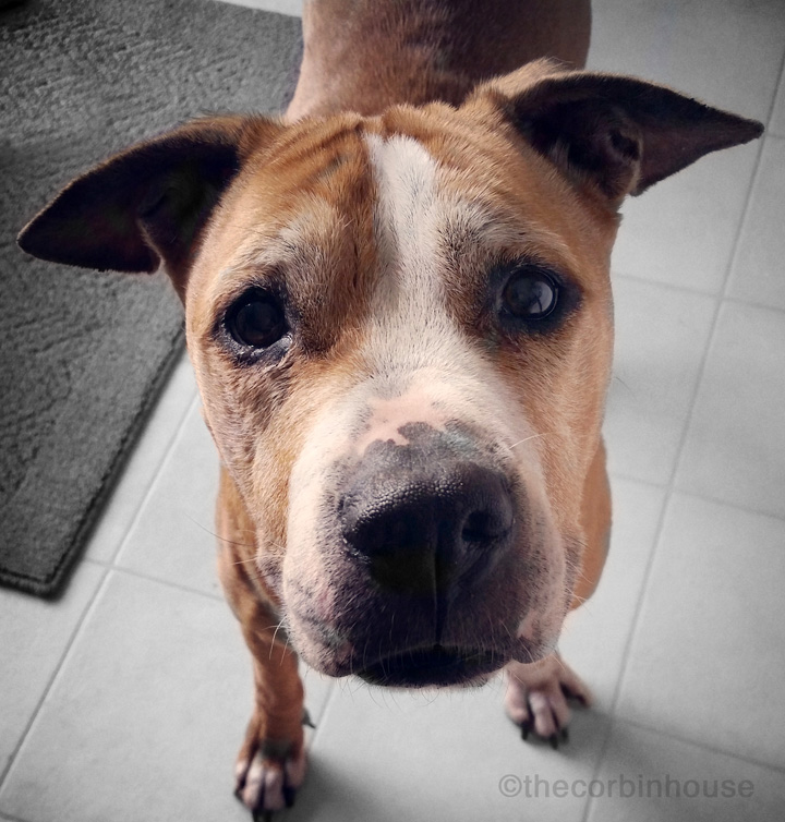 Diamond, the rescued pitbull explains why you should adopt a senior dog, senior dogs rock