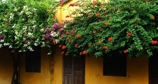 Ngày nay, hoa giấy đã được lai tạo để cho ra nhiều màu hoa trên cùng một cây