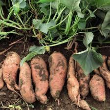 Ada tiga jenis ubi jalar yang populer di Indonesia yakni ubi jalar berwarna putih kecokl CARA SUKSES BUDIDAYA UBI CELEMBU