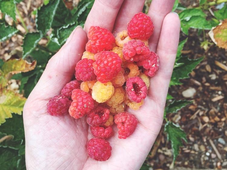 Fresh Garden Red and Gold Raspberries // Zone 6 & 7 Garden Tasks for August // www.thejoyblog.net