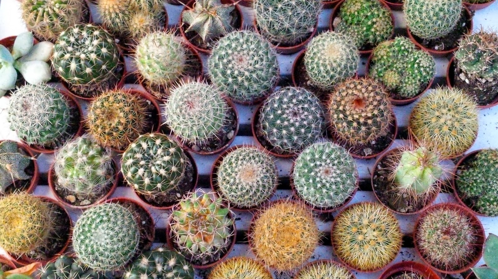 selection potted cacti viridea vicenza