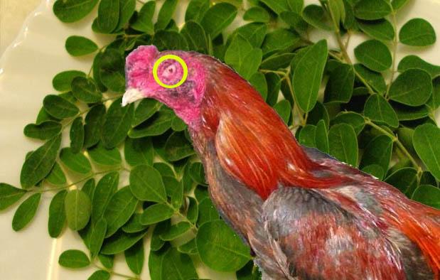 Jenis Pukulan Ayam Bangkok