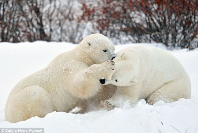 White Wolf Cute Moment Two Giant Polar Bears Share A