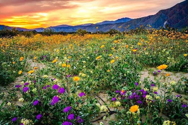 砂漠が一面花畑になる?スーパー・ブルームの美しい光景 【nat】 アンザ・ボレゴ砂漠