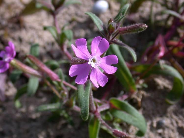 Silene cambessedesii, molinet. (endémica de Ibiza y Formentera)