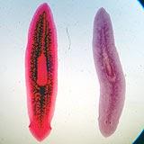 cikloferon papillómákból hpv az uvulámon