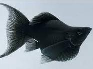 Ikan Hias Air Tawar Jenis Balon warna hitam