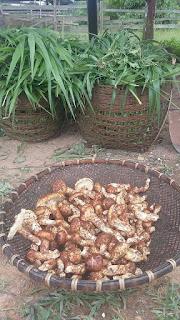 Tricholoma fulvocastaneum (pine mushroom)