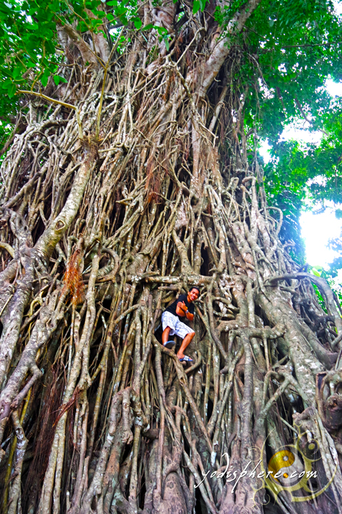 Called the Millenium Tree of the Philippines - a 600 year old tree in Baler Aurora