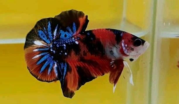 Ciri Khas Ikan Cupang Koi Tiger - Ikanhiasku.net