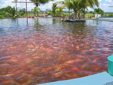 Proyecto piscicola caracteristicas del proyecto for Cria de mojarra roja en estanques