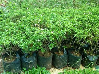 Jual Tanaman Rumbosa Mini Bunga Putih | Tanaman Perdu Rumbosa Mini | Jual Tanaman Hias | Jasa Tukang Taman Dibogor