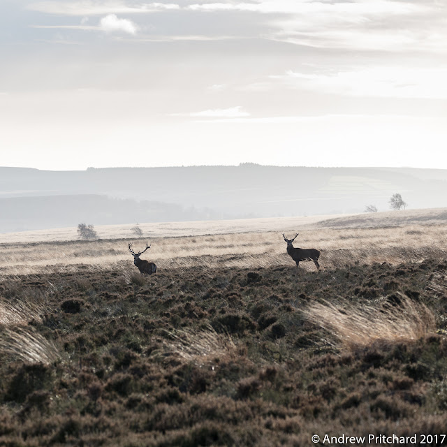 Two stags pause whilst walking towards the sun.